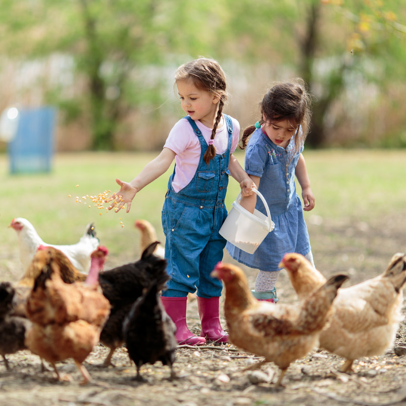 Kids feeding hens
